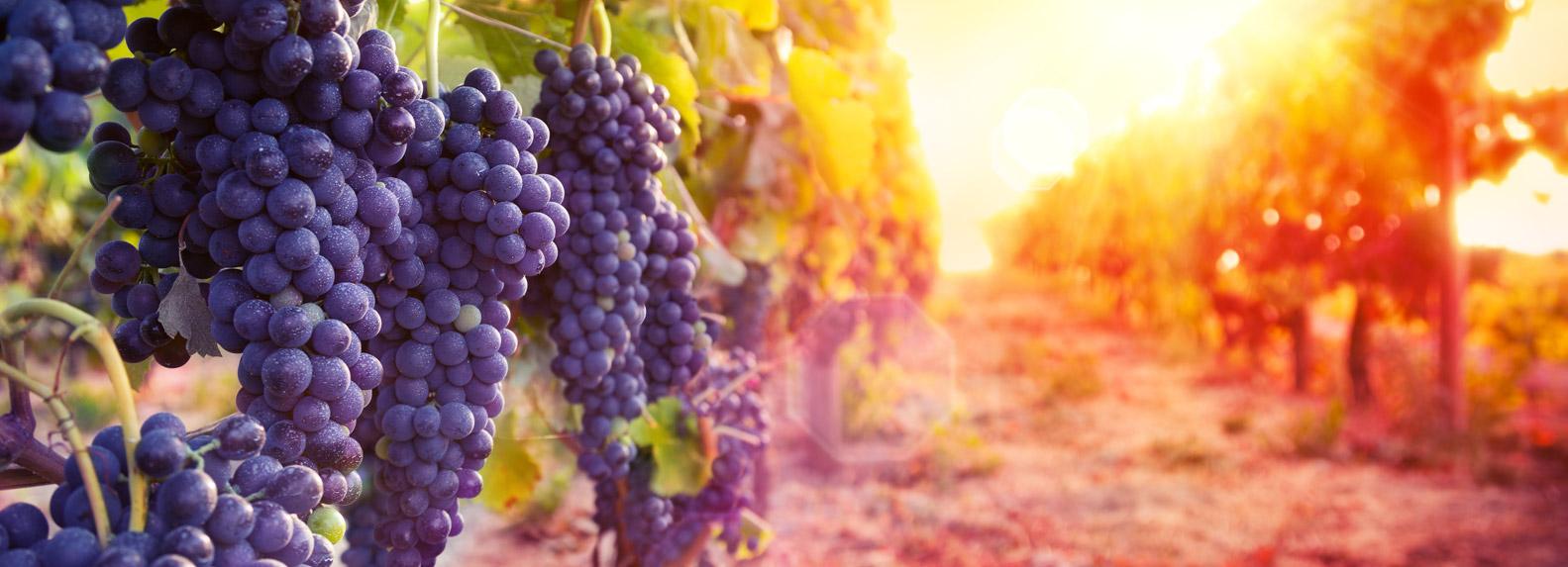 grapevine_special